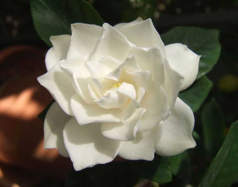 gardenias in the house take special care  nancy's garden blog, Beautiful flower
