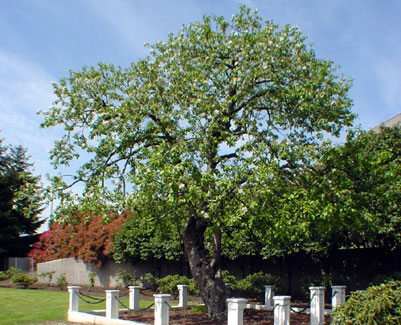 apple tree. Dwarf Apple Trees Produce